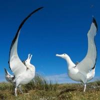 Albatros wędrowny (Diomedea exulans)