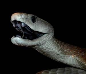 Czarna mamba (Dendroaspis polylepis)