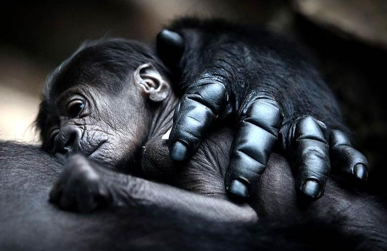 Goryle (Gorilla)