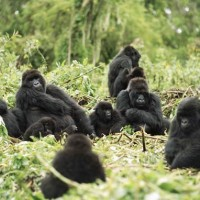 Goryl (Gorilla)