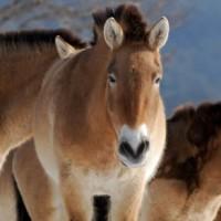 Koń Przewalskiego (Equus przewalskii),