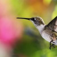 Kolibry (Trochilidae)