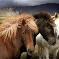 Konie domowe, krewni koni dzikich