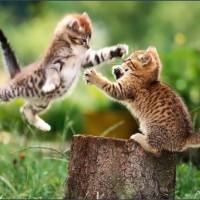 Kot domowy (Felis catus)