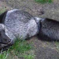 Lis rudy (Vulpes vulpes), odmiana melanistyczna  zwana lisem srebrnym