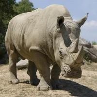 Nosorożec biały, afrykański, szerokopyski, tęponosy (Ceratotherium simum)