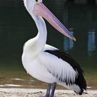 Pelikan australijski (Pelecanus conspicillatus)