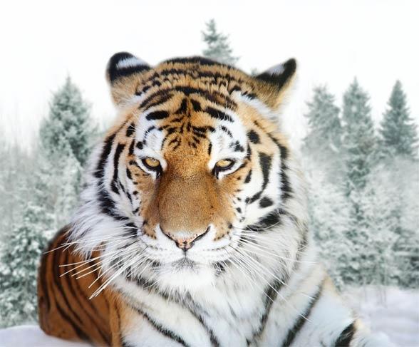 Tygrys syberyjski, tygrys amurski (Panthera tigris altaica)