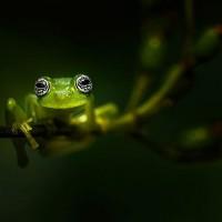 Żaby, żaby właściwe (Ranidae)