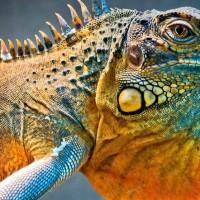 Iguana/Legwan