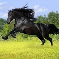 Koń domowy, krewny tarpana