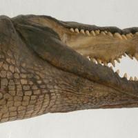 Krokodyl (Crocodilia)