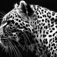 Lampart, pantera, leopard (Panthera pardus)