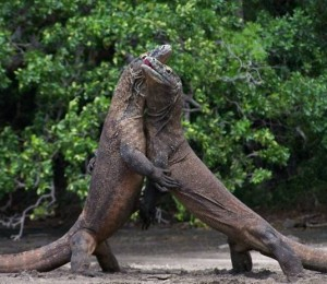 Waran/Smok z Komodo (Varanus komodoensis)